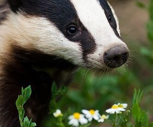 animal and badger image
