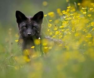 animal, fox, and black image