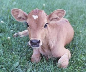 cow, cute, and animal image
