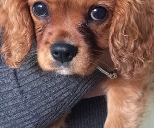 puppy and cavalier image