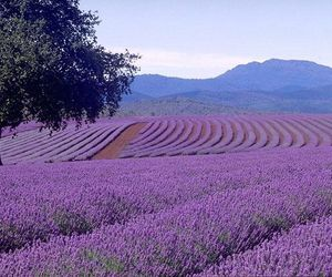 lavender and purple image