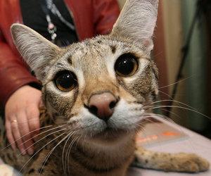 cats, savannah, and cute image
