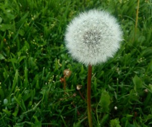 dandelion, nature, and love image