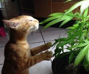 cat, marijuana, and weed image
