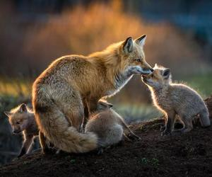foxes, landscape, and nature image