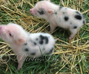 baby pigs image