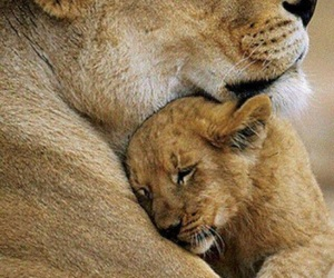lion, animal, and mother image