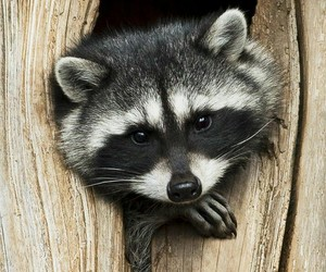 animal and raccoon image