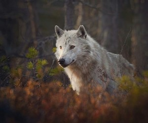 wolf, animals, and nature image