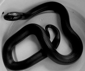 snake, black, and grunge image