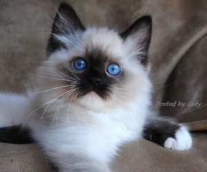 cat, kitten, and blue eyes image