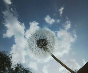 dandilion and photography image