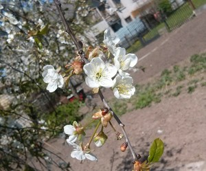 blossom, blossoms, and nature image