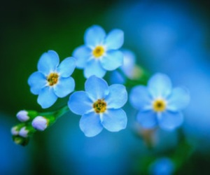 beautiful, forget-me-not, and flowers image