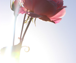 flower, sunlight, and pink image
