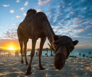 animal, arabic, and camel image