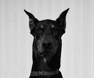 dog, animal, and doberman image