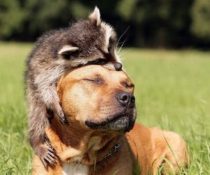 animal, dog, and raccoon image