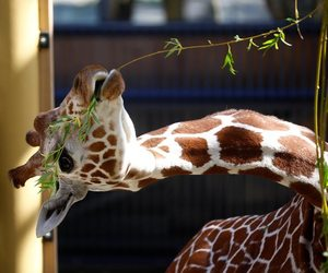 adorable, giraffe, and jirafa image