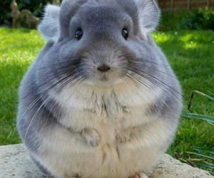 animal, Chinchilla, and cute image