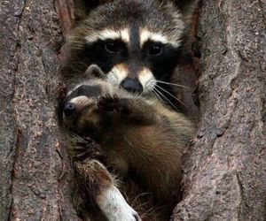 animals, mother and baby, and racoon image