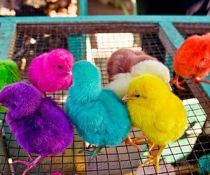 chickens, 🐣, and colors image