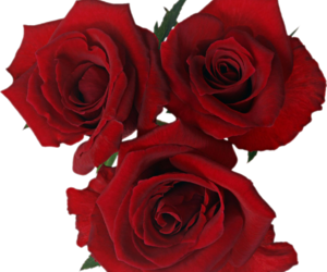 flower, png, and rose image