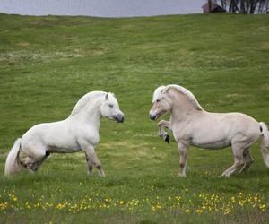 horses, norwegian, and summer image