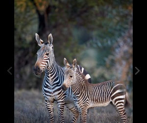little animals, zebra's, and ❤ image