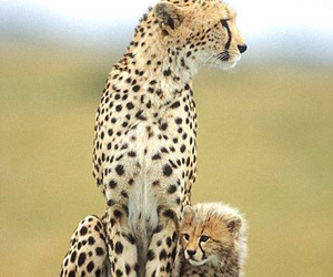 cheetah and cheetahanadbaby image