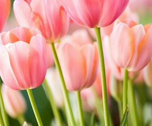beautiful, flower, and tulips image
