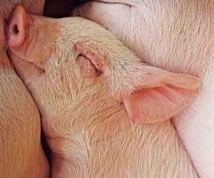 animals, mini pig, and cute image