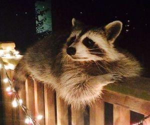 raccoon, animal, and cute image