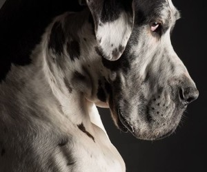 animals, dogs, and great dane image