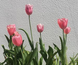aesthetic, tulips, and flowers image