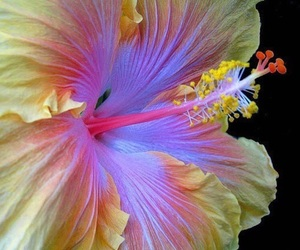 flowers, hibiscus, and nature image