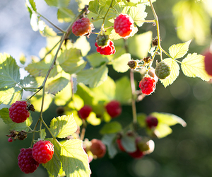 berries, nature, and raspberry image