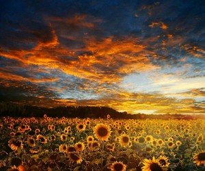 sunflower, sunset, and wallpaper image