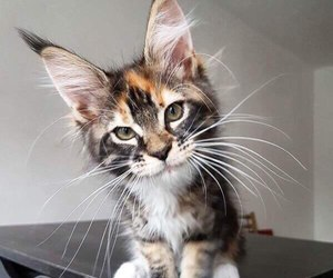 kitten and maine coon image