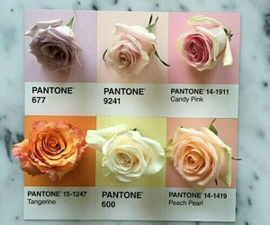flowers, rose, and pantone image