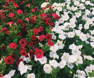 garden, white flowers, and red and white image