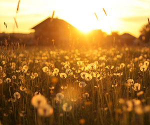 flowers, sun, and dandelion image