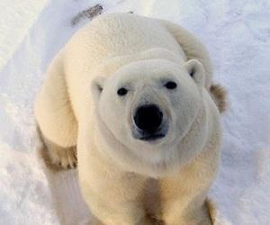 animals, Polar Bear, and cute image