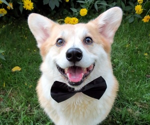 adorable, bow tie, and pictures image