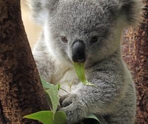 animals, baby animals, and koala bear image