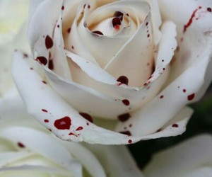 blood, rose, and white image