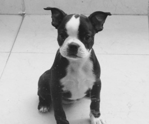 lila and boston terrier image
