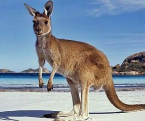 kangaroo, australia, and animal image