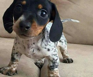 cute, dachshund, and dog image
