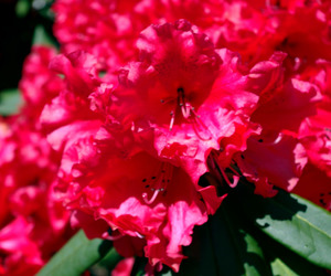 rhododendron image